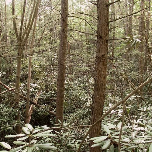 Ell-Pond-rhodedendron