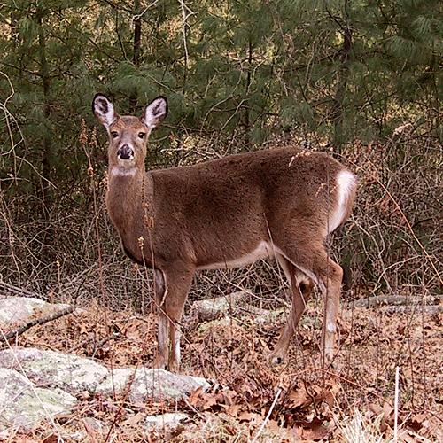 bambi-148-4832